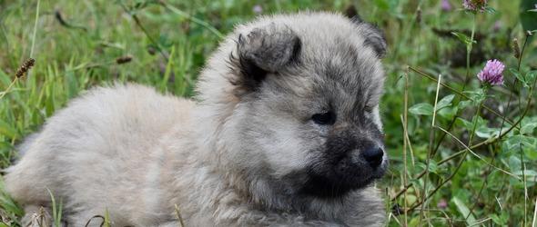 Cours Chiots Education Canine Vaud - Cours obligatoires pour chiots - Morges / Lausanne